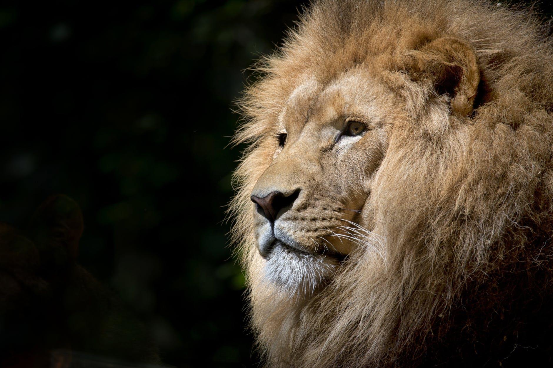 王者としてのライオン